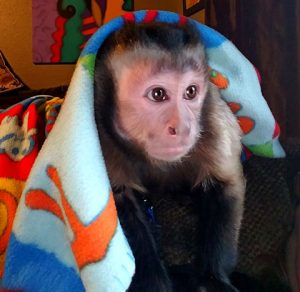 opie rehomed capuchin
