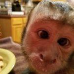 silly capuchin monkey
