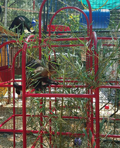 bamboo browse primate diet