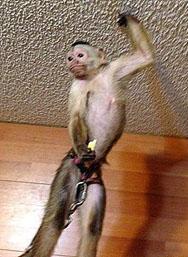 casper capuchin ball trick