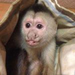 funny-casper-capuchin