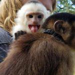 capuchin parachute cord neck collar