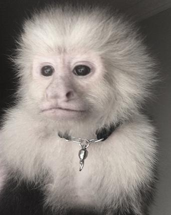 capuchin-with-collar