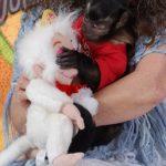 18 month capuchin monkey