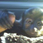 8 weeks old capuchin monkey