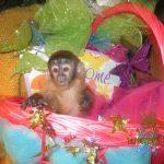 young capuchin monkey