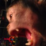capuchin adult teeth