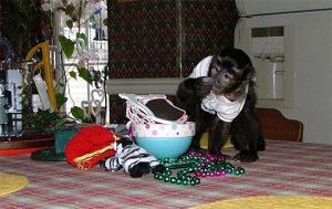 capuchin playing with beads