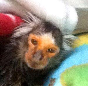 chewie-marmoset-20yrs