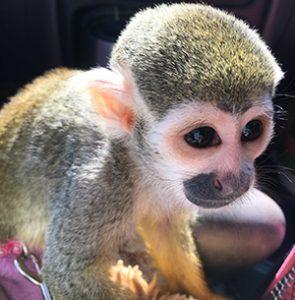 squirrel monkey baby