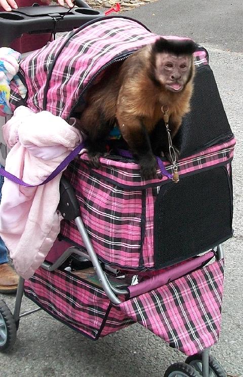 capuchin stroller