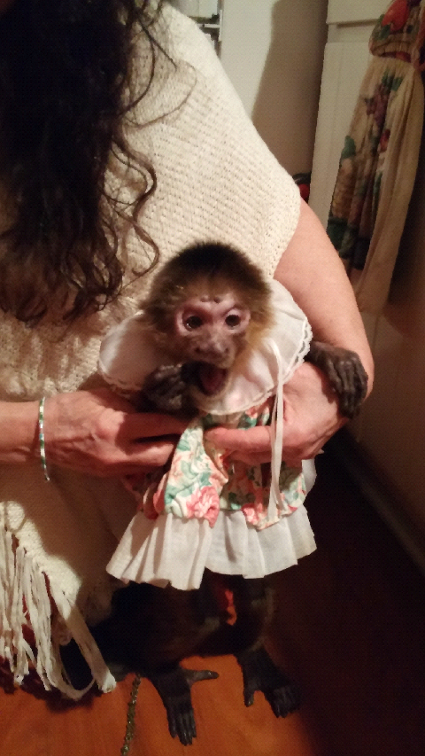 senior capuchin monkey