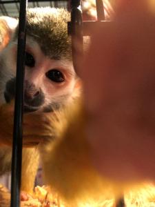 squirrel monkey traveling