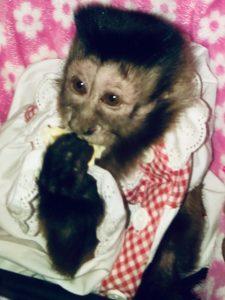 diabetic capuchin