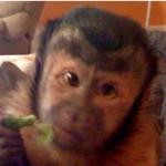 capuchin age 1
