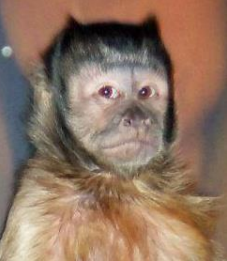 capuchin older brother