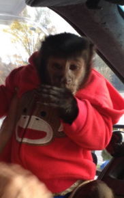 capuchin age 4