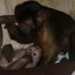 capuchins playing