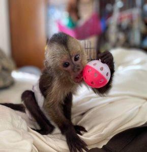 baby capuchin goats milk