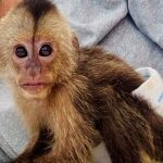 baby capuchin milk formula