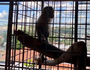 baby capuchin monkey enclosure