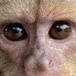 capuchin eyes