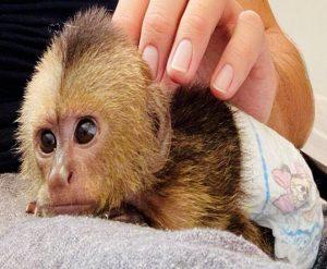capuchin seizures