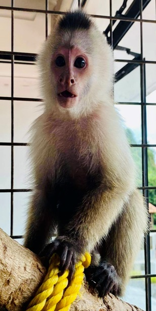 capuchin youngster