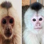 healthy baby capuchins