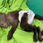 sedated capuchin monkey