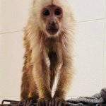 sick baby capuchin