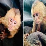 wild baby capuchin monkey